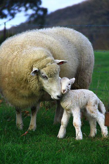 ~~Hi Mum ~ 2 hour old lamb bonds with its Mom by Petehamilton~~