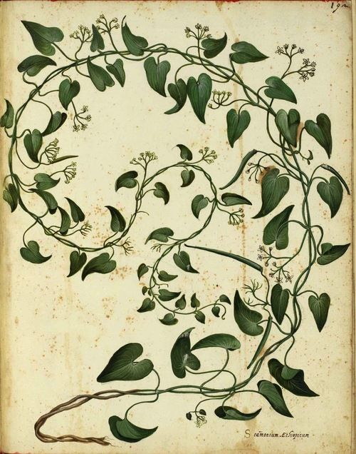 Illustration: Ulisse Aldrovandi (1599)