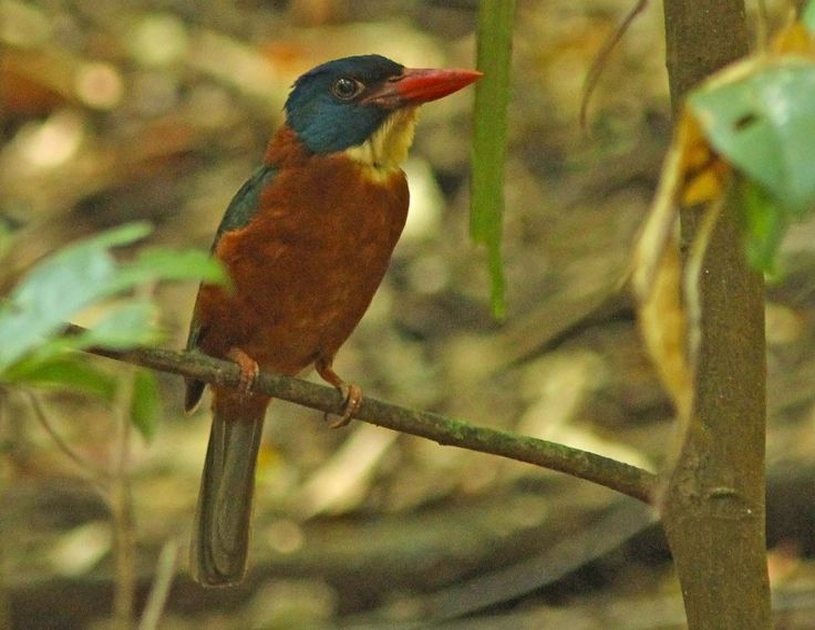Red Backet KingFIsher at Tangkoko Nature Reserve