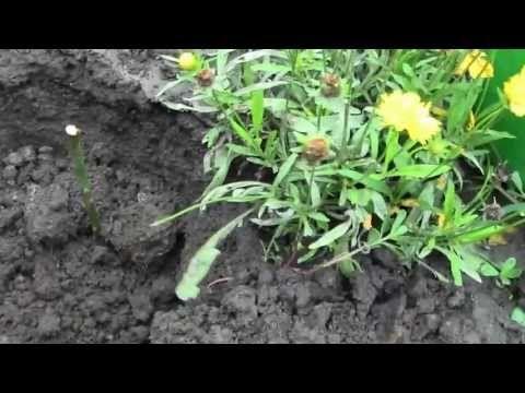 Как посадить розы из букета черенками, способ укоренения (видео)