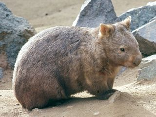 Wombat Fact Sheet