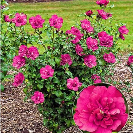 Great Hibiskus Magenta Chiffon Pflanze