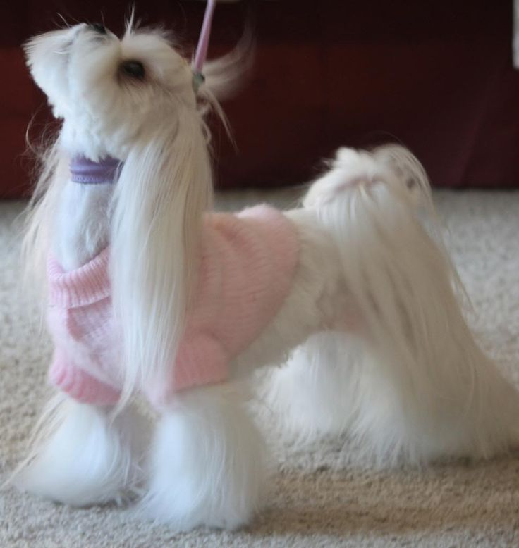 20 best Maltese Korean hair cut images on Pinterest | Dog ...