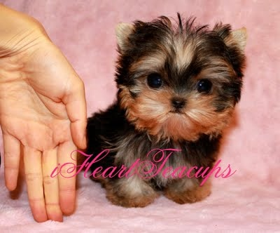 We have beautiful and tiny Teacup and Micro mini sized Tea Puppies for sale in California!!!  We have the tiniest and cutest puppies in Los Angeles! We specialize in tiny Teacup Yorkies, Teacup Morkies, Teacup Malteses, Teacup Maltipoos, Teacup Shorkies, Teacup Pomeranian and other teacup sized puppy breeds. Enjoy your visit at iHeartTeacups.com