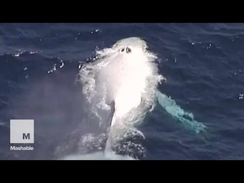 """Majestic II A rare White Humpback McWhalerson was spotted off Australia's Queensland Coast on Monday, and there's hope that it is Australia's famed """"Migaloo,"""" but that's still not confirmed. (That's an Aboriginal name which means """"White Fella."""" Which seems just about right.) — Cute Overload"""