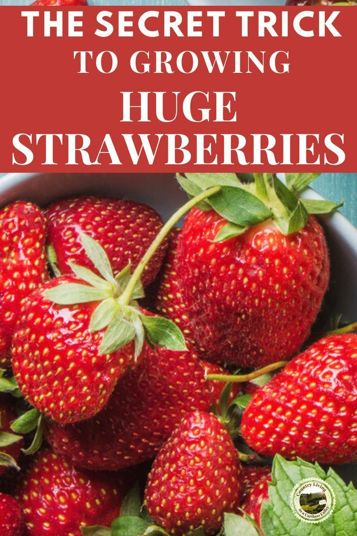 How To Grow Huge Strawberries Growing Strawberries In Containers Growing Strawberries Strawberries In Containers