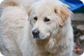 Hockessin, DE - Golden Retriever Mix. Meet Molly, a dog for adoption. http://www.adoptapet.com/pet/11489947-hockessin-delaware-golden-retriever-mix