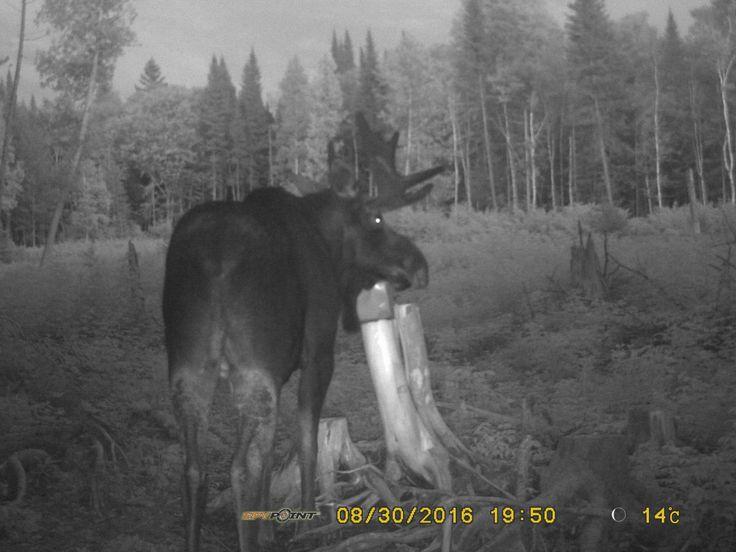 En préparation pour la chasse à l'orignal #chasse #orignal #chasseur #hunting #moose