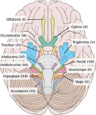 Resultado de imagen para sistema nervioso periferico