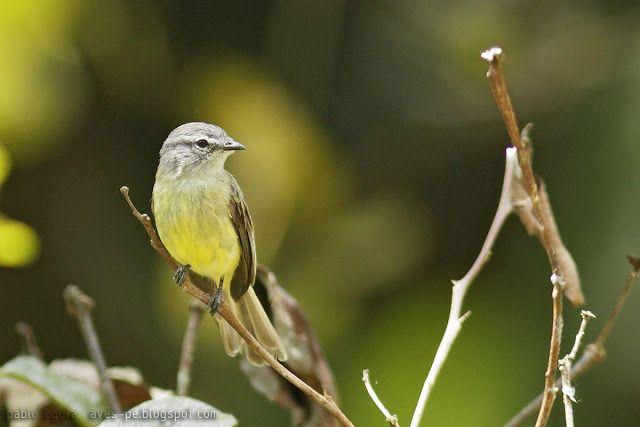 mis fotos de aves   Myiopagis viridicata Fiofío Corona Dorada Greenish Elaenia