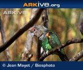 ARKive species - Cape parrot (Poicephalus robustus)