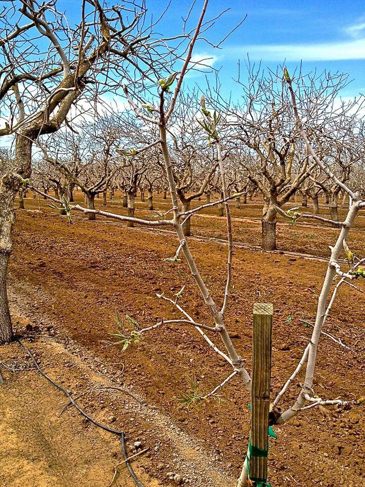 Growing Pistachios: 106 Best Images About Pistachio Tree On Pinterest