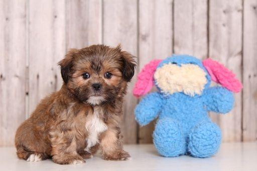 Shorkie Tzu puppy for sale in MOUNT VERNON, OH. ADN-53899 on PuppyFinder.com Gender: Male. Age: 8 Weeks Old
