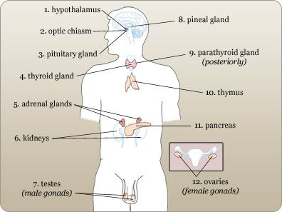a p endocrine Start studying endocrine system a&p learn vocabulary, terms, and more with flashcards, games, and other study tools.