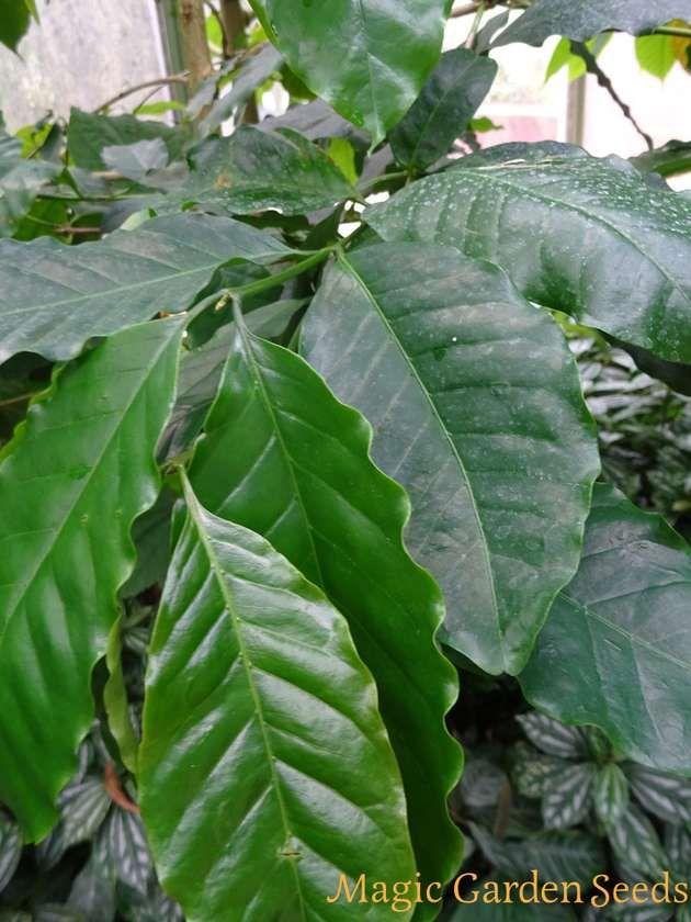 Tropische Pflanzensamen: Kona Kaffee (Coffea arabica) - Samen & Saatgut aus dem Online Shop von Magic Garden Seeds