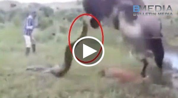 Anak Digigit Oleh Ular Sampai Mati!! Lembu ni Kuat Marah Cari Ular Balas Dendam Dgn Cara Ni!!! http://ift.tt/2tprzaa