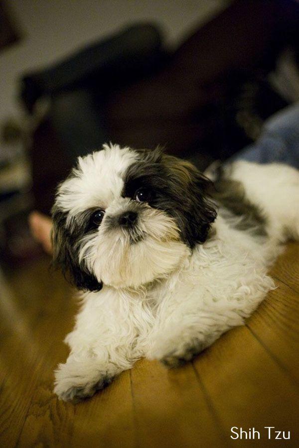 Discover Shih Tzu Humor Shih Tzu Dogs Puppies Shih Tzu Puppy