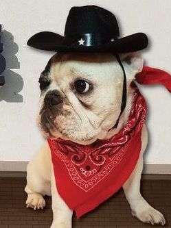 Manny The French Bulldog In A Cowboy Costume French Bulldogs