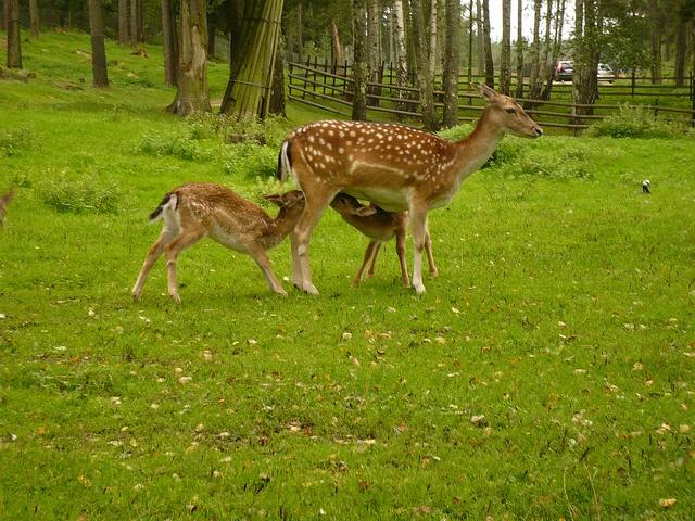 Svezia. Bamby allo Zoo di Kolmarden by Familygo, via Flickr