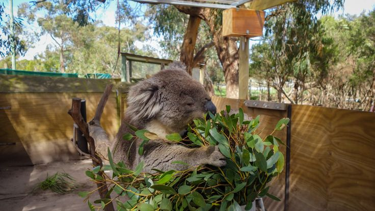Content Koala munching on leaves at the Moonlit Sanctuary, Australia