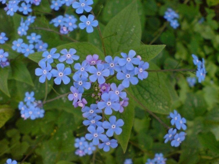 Kaukasus Vergissmeinnicht - Brunnera macrophylla - Staudenpflanze