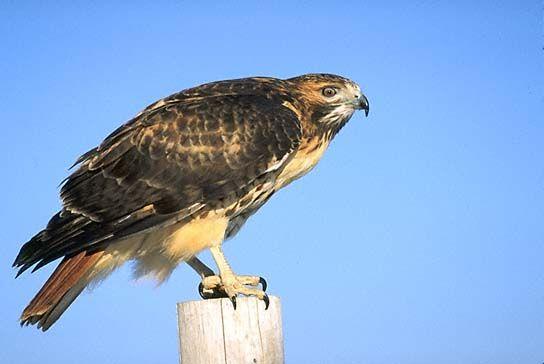 love hawks