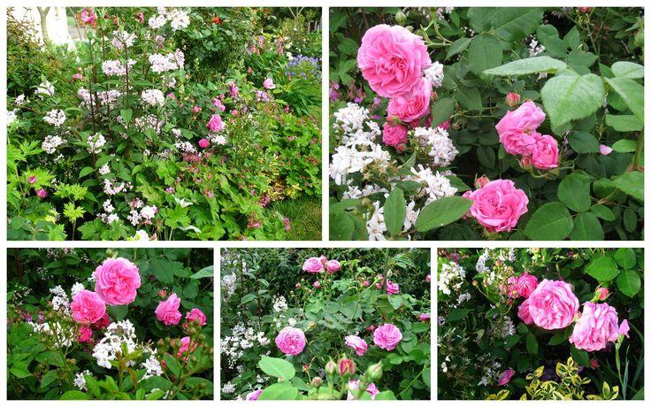 roses du jardin ch neland rosier louise odier jardin. Black Bedroom Furniture Sets. Home Design Ideas
