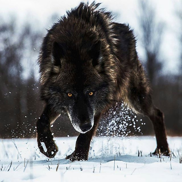 Black Timber Wolf ♥♥ | Photo by @sj_nate #Destination_wild