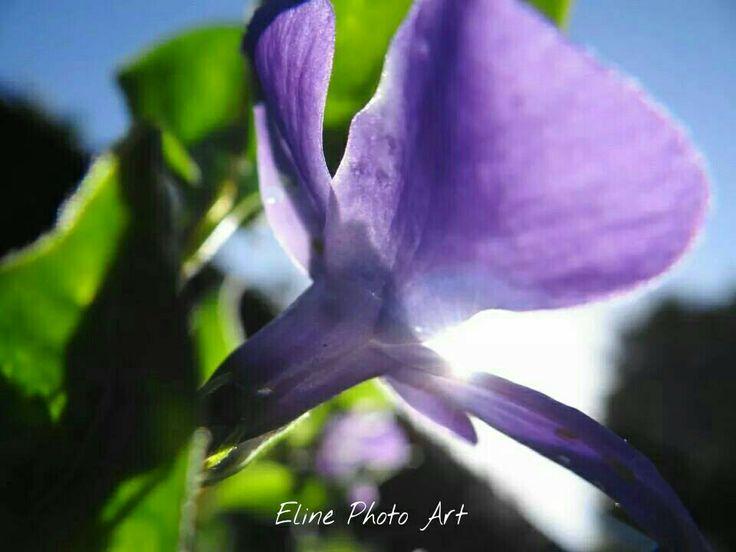 Beautiful purple flower in my backyard
