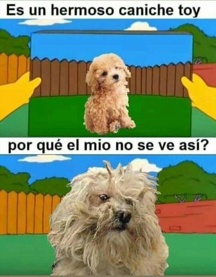 Pin De Milagros Abigail Ortiz En Foto Para Wasap Caniche Toy Perros Caniche