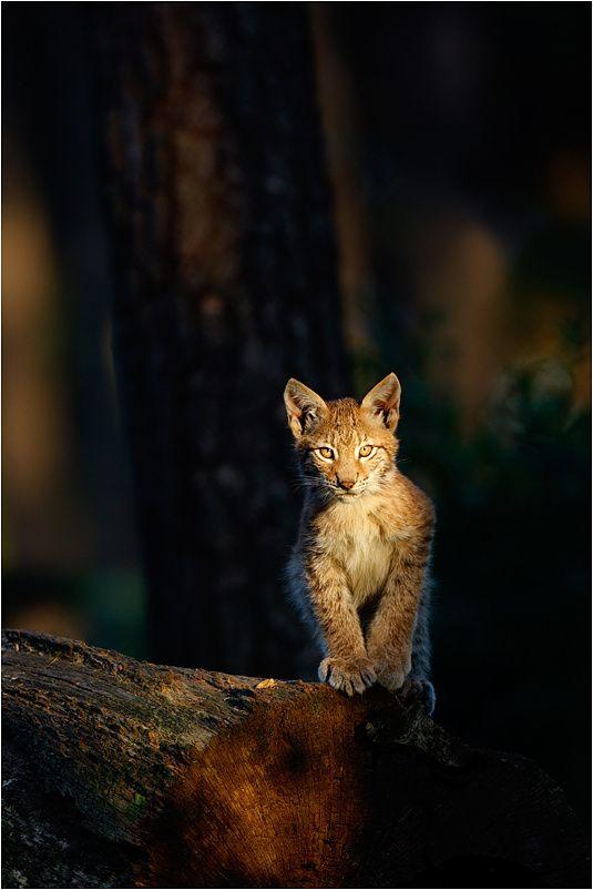 Nimble FeetAmazing Wildlife, Wild Animal, Wild Cat, Big Cat, Animal Collection, Beautiful Bobcat, Dark Forests, Photos Wildlife, Beautiful Creatures