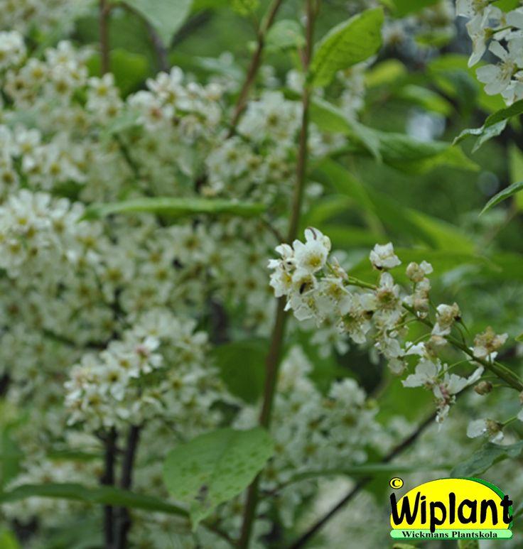 Prunus padus 'Laila', Hägg. Stora blommor, upprätt växtsätt. Höjd: 5-10 m.