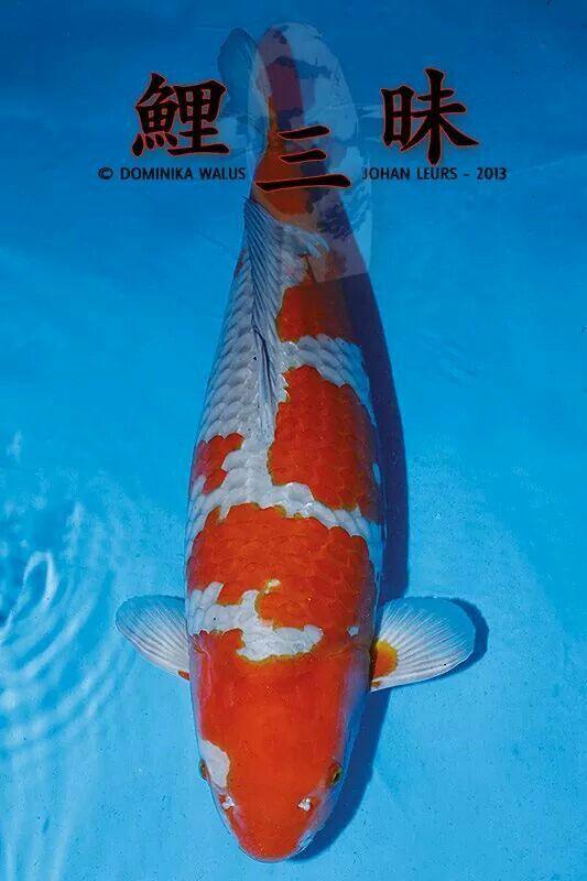 124 best ochiba images on pinterest koi carp koi ponds for Ochiba koi fish