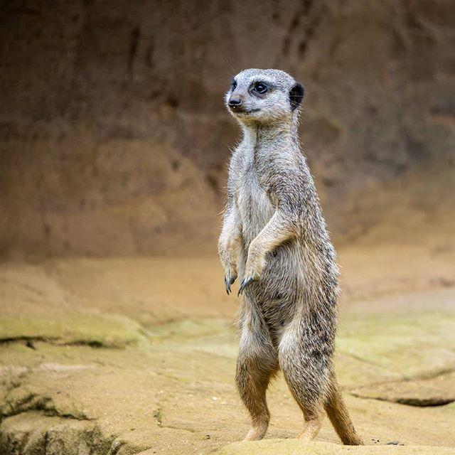 Erdmannchen Gibt Es Auch Erdfrauchen Im Zoo Colchester England