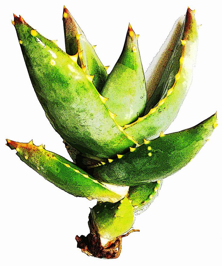 Aloe-original artwork copyright by Melanie Pierce. quiverdesigns@gmail.com