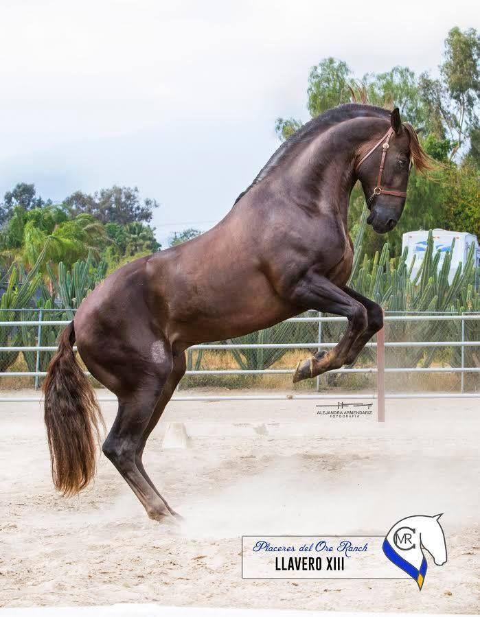Blanca Sarait PeñaPRE (ANCCE Revised) stallions at stud·