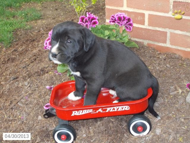 Squeezable - Boxador Puppy for Sale in Shippensburg, PA - Boxador - Puppy for Sale