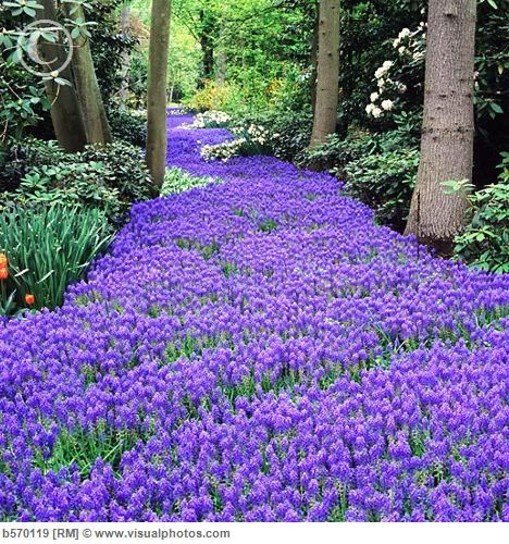 Grape Hyacinth: 1) Bulb plant that's easy to grow 2) Sun to  part sun 3) Aromatic (grape bubblegum) 4) Deer resistant 5) Four colors (blue, purple, white & yellow) 6) Blooms in early spring