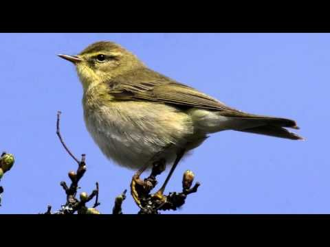 Sounds of Nature Willow Warbler Bird call Bird song - YouTube