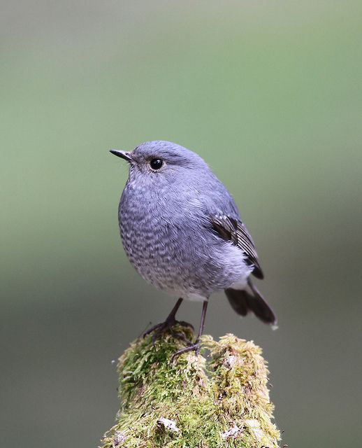 The Plumbeous Water Redstart. Pretty, purple bird! -Loved and repinned by www.evolationyoga.com