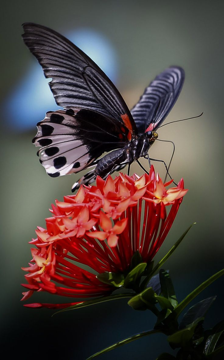pollinating butterfly::