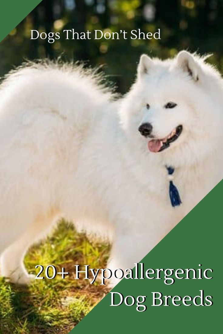 20 Hypoallergenic Dog Breeds In 2019 Hypoallergenic Dog Breed