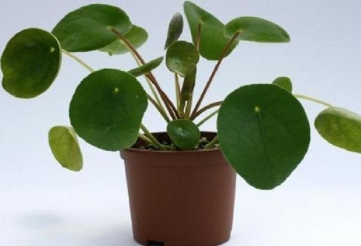 Pilea Peperomoides Chinese Money Plant Succulent Evergreen Perennial Houseplant – uk_e-shop