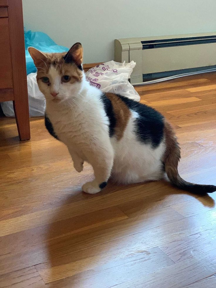 Adopt Pancake on Petfinder in 2020 Cat adoption, Cat
