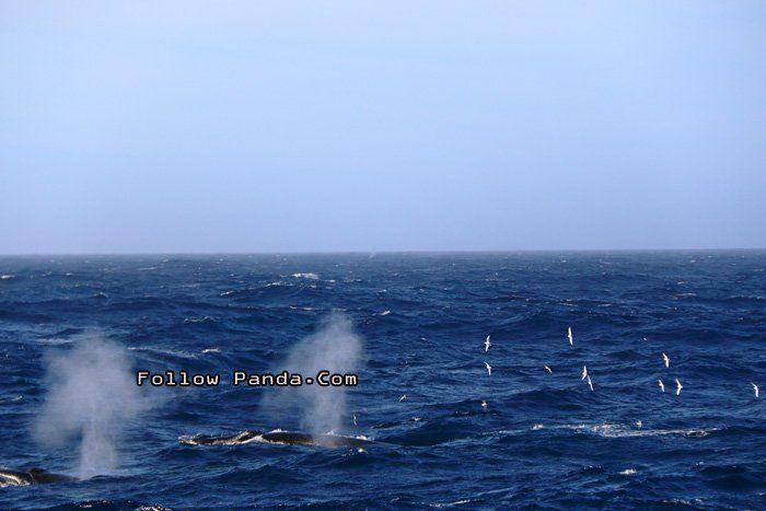 Whale Watching at Shag Rocks of Scotia Sea, South Georgia and the South Sandwich Islands - A&K Le Boreal Antarctica Expedition Trip | FollowPanda.COM