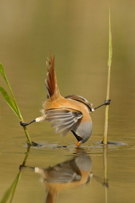 Ninja bird! Ha! This is awesome! :0): Like A Boss, The Split, Little Birds, Beautiful, Photo, Natural, Drinks Water, Likeaboss, Animal