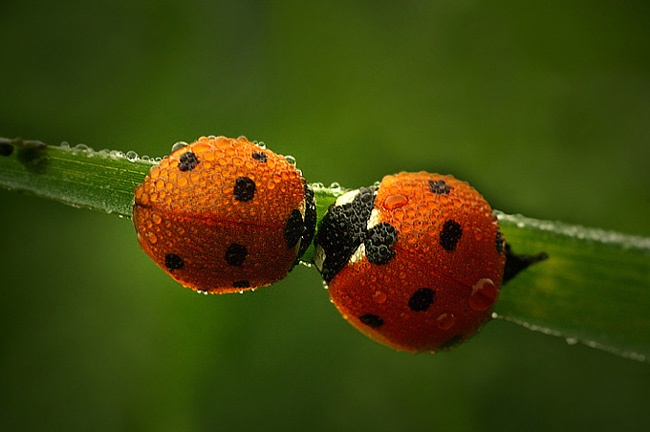 adorable. :3Ladybugs Ladybugs,  Lady Beetle,  Ladybird Beetles, Wedding Photos, Lucky Ladybugs, Lady Beetles,  Ladybeetle, Lady Bugs, Animal