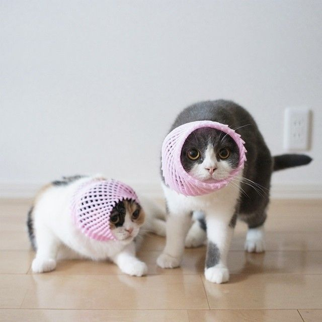 """* * CAT ON RIGHT: """" Anys item yoo puts in a safe place, willz nevers beez seens again!"""""""