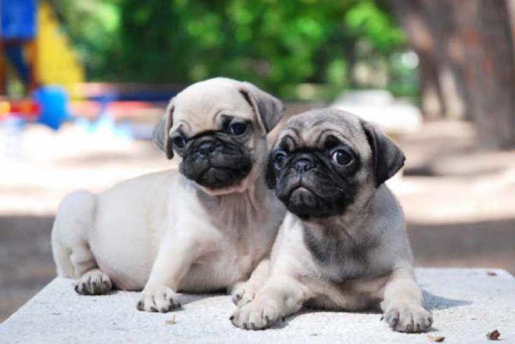 Cachorros de raza Carlino
