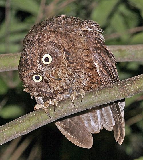 Mayotte Scops Owl (Otus mayottensis)